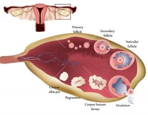 dep_10071343-Ovary-and-ovulation-process1